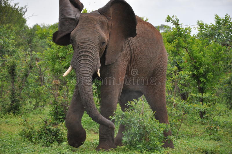 Angry African Elephant charging stock photo