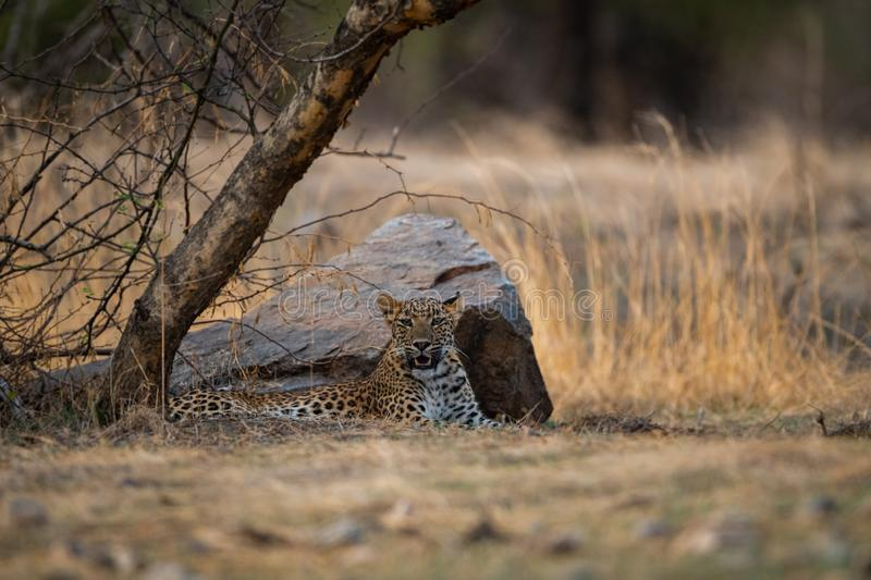 An angry and aggressive female leopard or panthera pardus with yawn expression at ranthambore. Tiger reserve, rajasthan, india stock photography