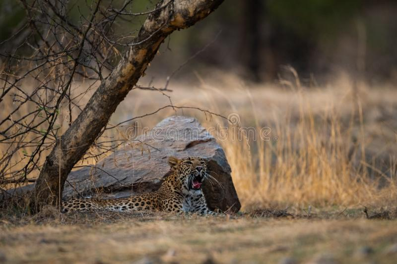 An angry and aggressive female leopard or panthera pardus with yawn expression at ranthambore. Tiger reserve, rajasthan, india royalty free stock photo