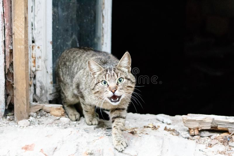 Angry agressive cat. Cat is showing teeth with open mouth with old ruined house window background royalty free stock photos
