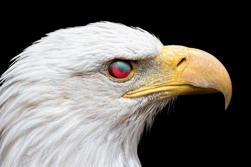 Angry American bald eagle. Zombie looking bird with eye nictitating membrane reflecting red light royalty free stock image