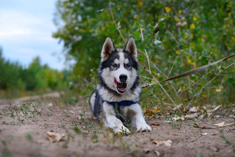 Angry barking huskies stock image