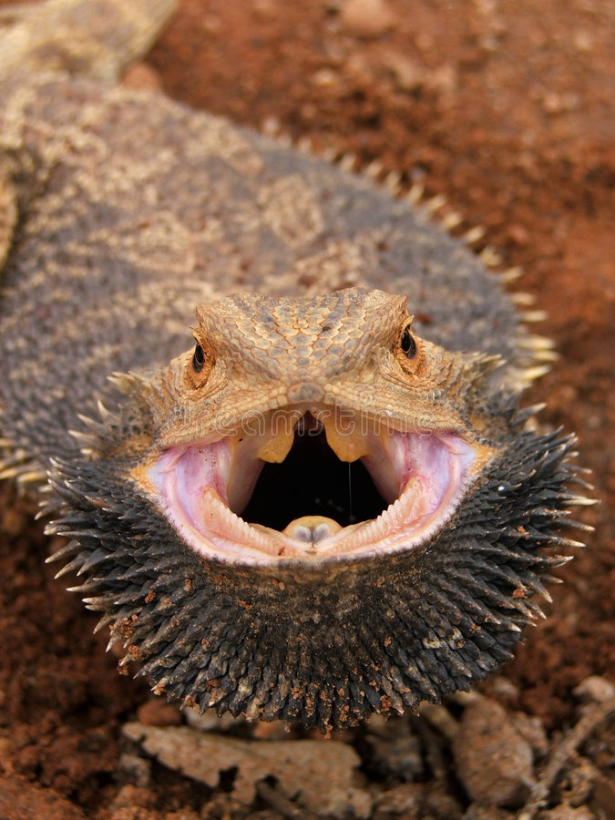 Angry Bearded Dragon Royalty Free Stock Photos