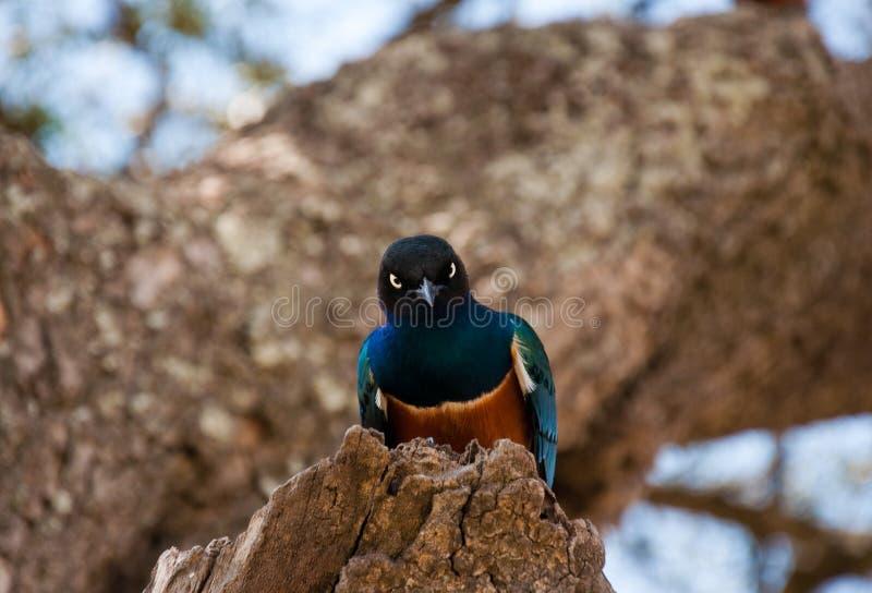 Download Angry bird stock image. Image of kenya, funny, masai - 26471859
