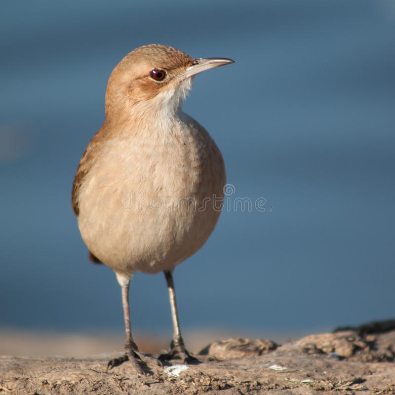 Angry bird royalty free stock images
