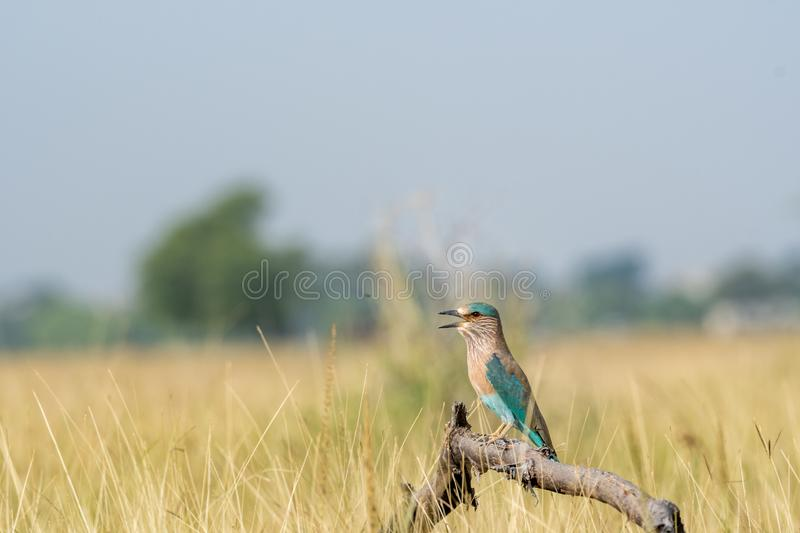 Angry bird Indian roller or Coracias benghalensis on a beautiful wood perch at tal chhapar , churu, india. Angry bird Indian roller or Coracias benghalensis on a stock image