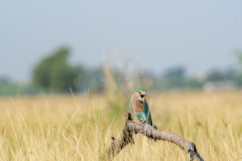 Angry bird Indian roller or Coracias benghalensis on a beautiful wood perch at tal chhapar , churu, india. Angry bird Indian roller or Coracias benghalensis on a royalty free stock photo