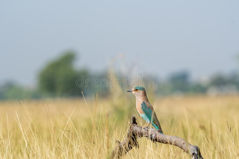 Angry bird Indian roller or Coracias benghalensis on a beautiful wood perch at tal chhapar , churu, india. Angry bird Indian roller or Coracias benghalensis on a royalty free stock photos