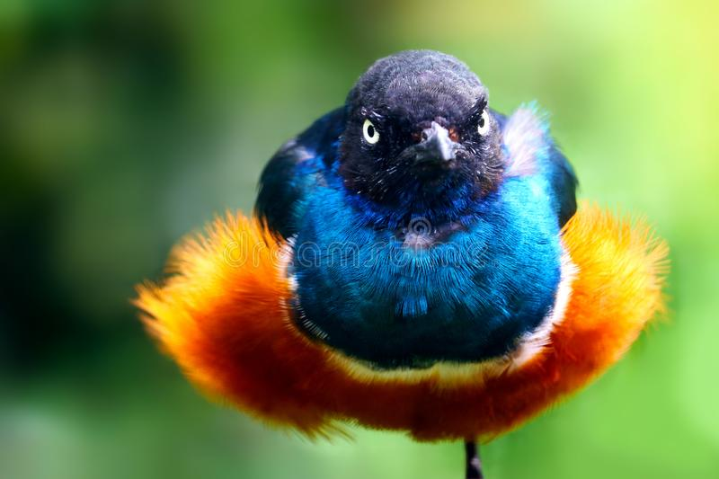 Angry looking shiny and glossy colorful superb starling with fluffy plumage sitting on one leg stock image