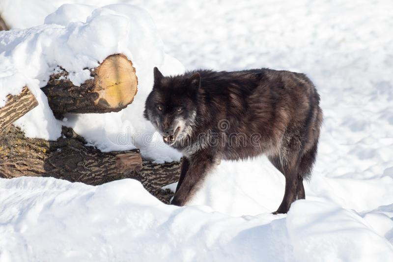 Angry black canadian wolf is standing on a white snow. Canis lupus pambasileus royalty free stock photo