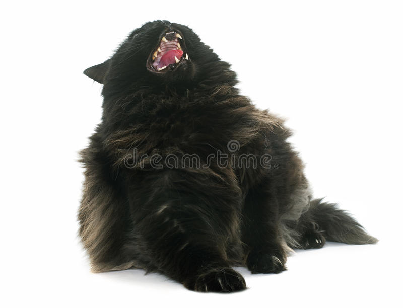 Angry black cat stock photos