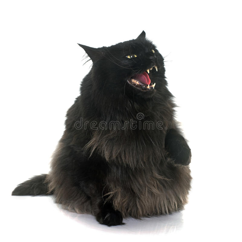 Angry black cat stock image