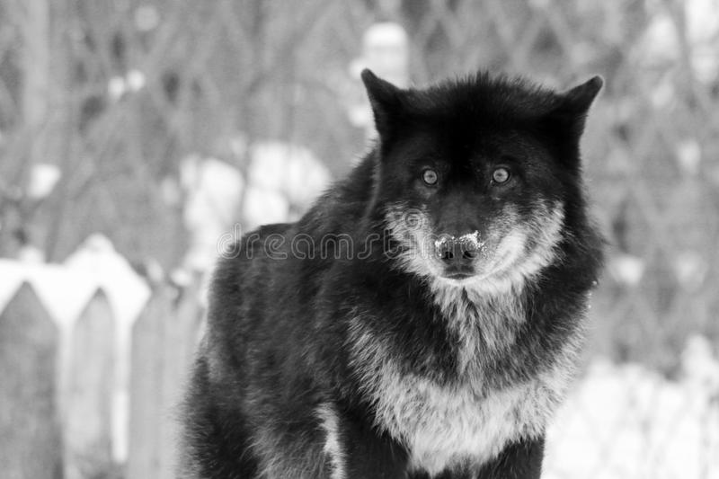 Angry black wolf in the wild in winter royalty free stock photos