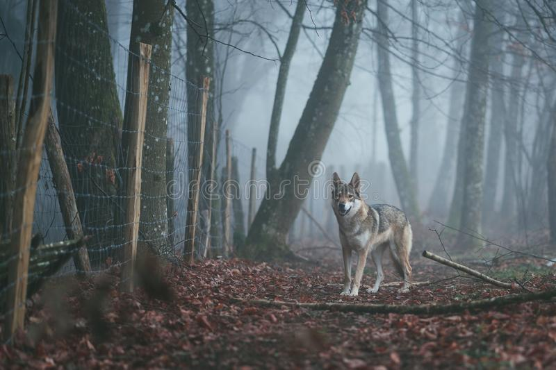 An angry brown and white wolfdog in the middle of red leaves near a thorny fence in a forest stock images