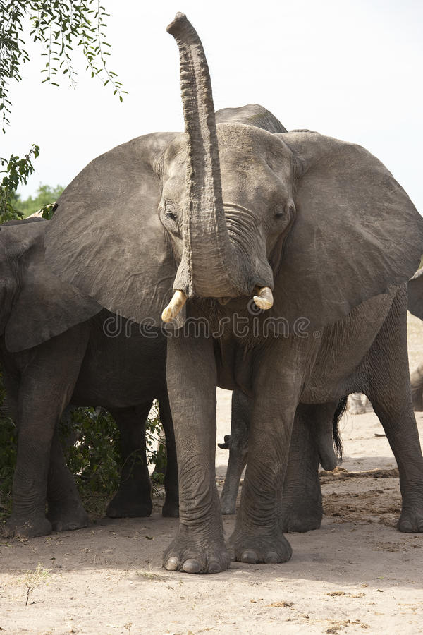 Angry Bull Elephant - Africa stock image