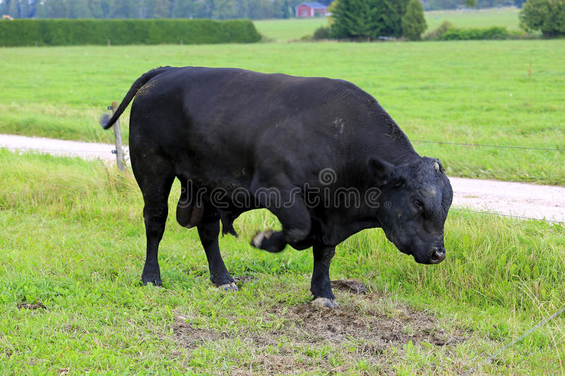 Angry Bull Pawing on Field stock images