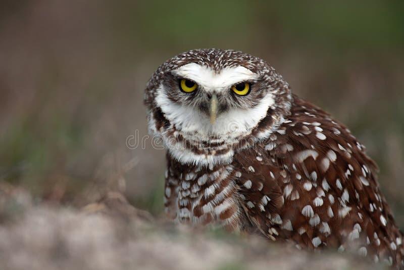 Angry Burrowing Owl stock photo
