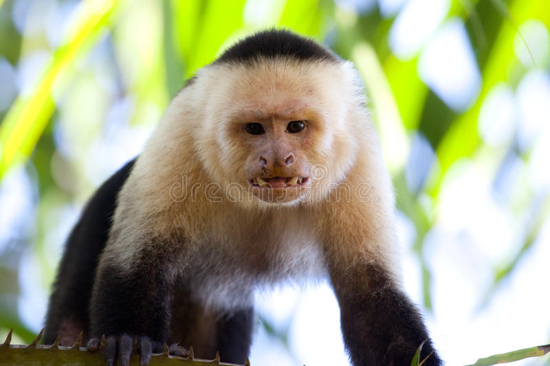 Angry capuchin monkey. Male capuchin monkey looking with teeth bared royalty free stock images