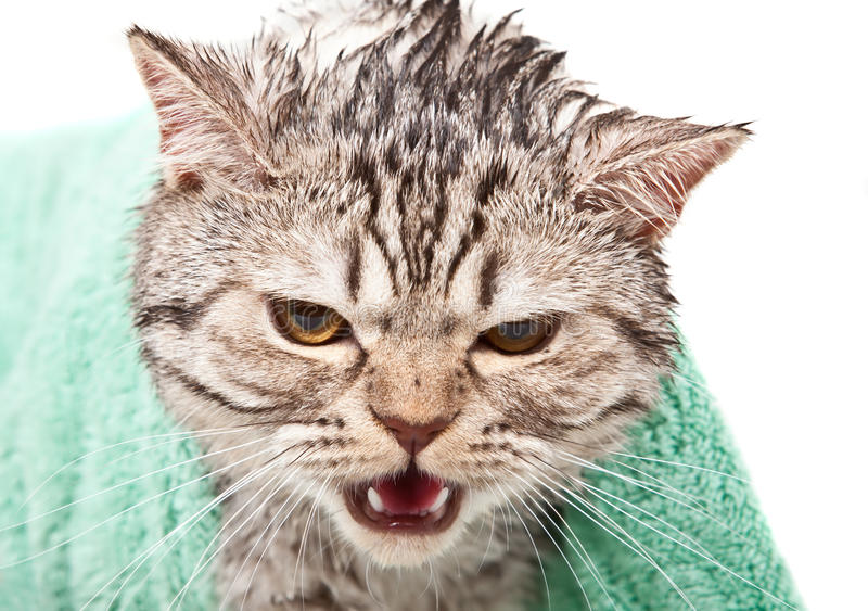 Download Angry cat stock image. Image of animals, towel, mammal - 22728085