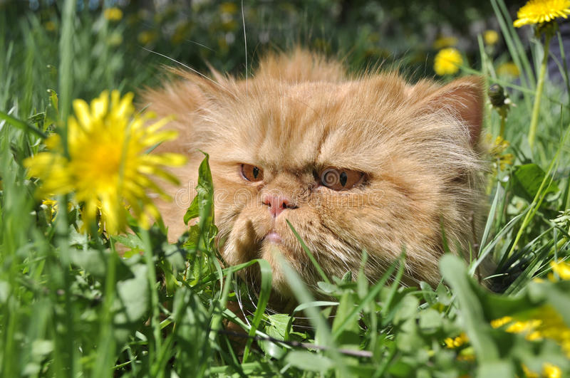 Angry cat stock photography