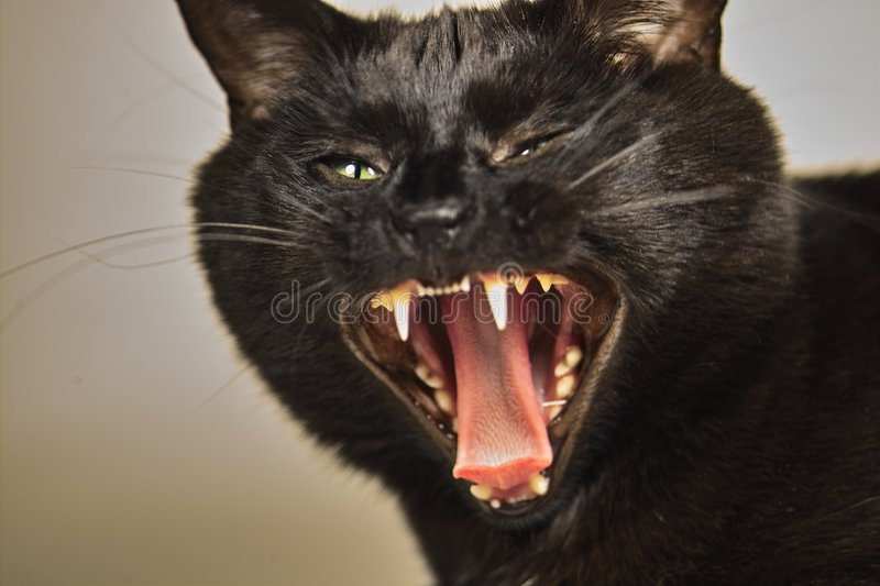 Angry Cat stock image