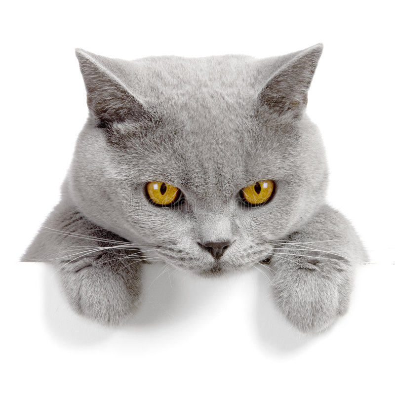 Angry cat banner. Cat banner isolated on white