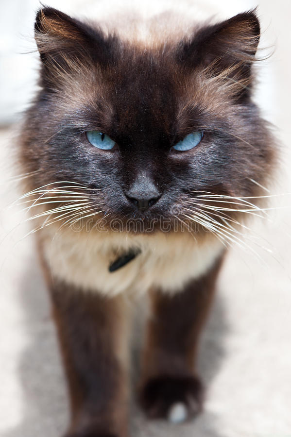Angry cat with blue eyes. Close up photo royalty free stock image