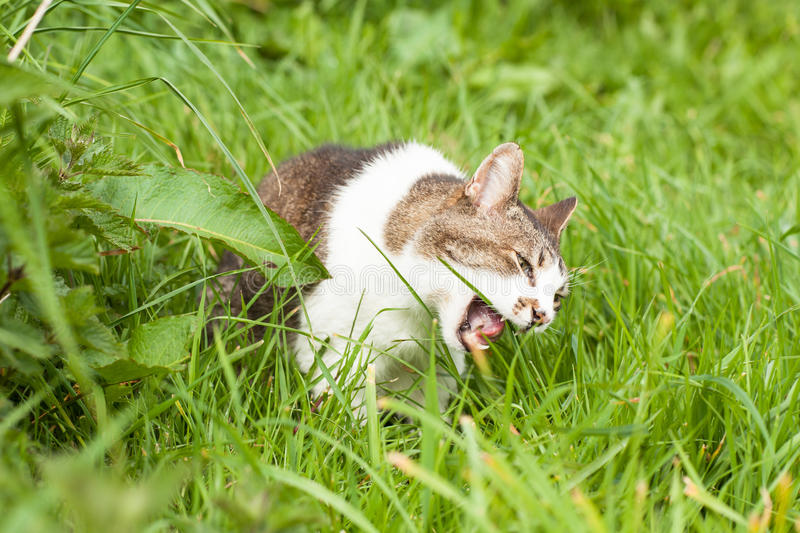 Angry cat in green grass stock image