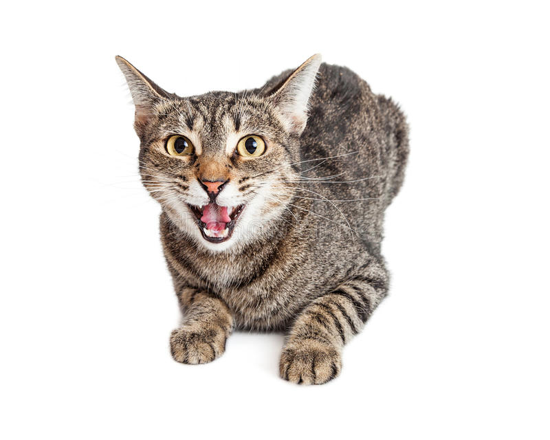Angry Cat Hissing Looking Forward. Mad tabby cat laying on white background looking forward with mouth open hissing stock image