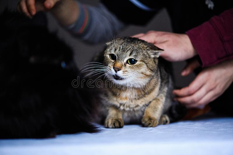 Angry cat looking to an other cat. Aggressive, anger, animal, attack, cute, domestic, face, feline, fur, furious, furry, hissing, mammal, mouth, pet, portrait stock photos