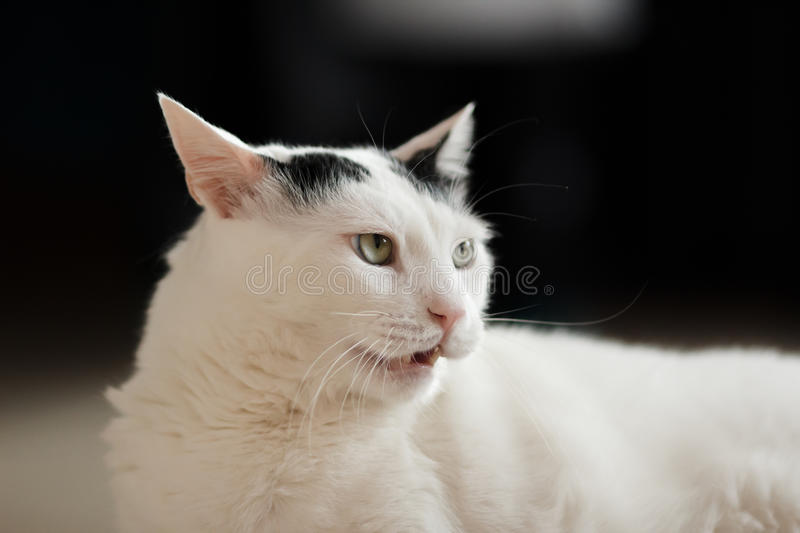 Angry cat portrait stock photo