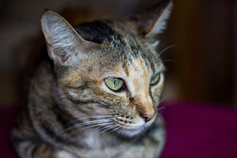Angry cat. Portrait of angry hissing cat showing teeth royalty free stock image