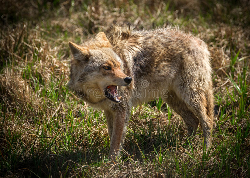 Angry Coyote with Open Mouth royalty free stock photos