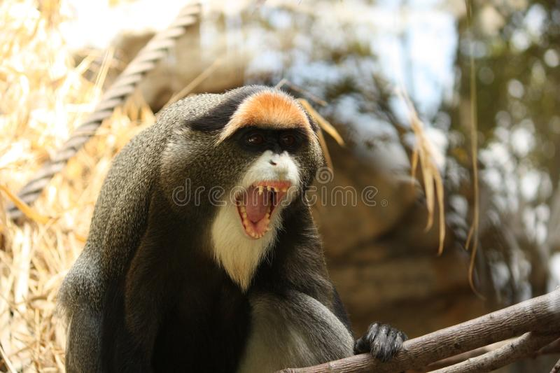 Angry De Brazza& x27;s monkey with white beard. Cute, zoo, eye, agouti, comical, fang, stare, funny, making, hair, cercopithecus, nature, guenon, showing, ape stock image