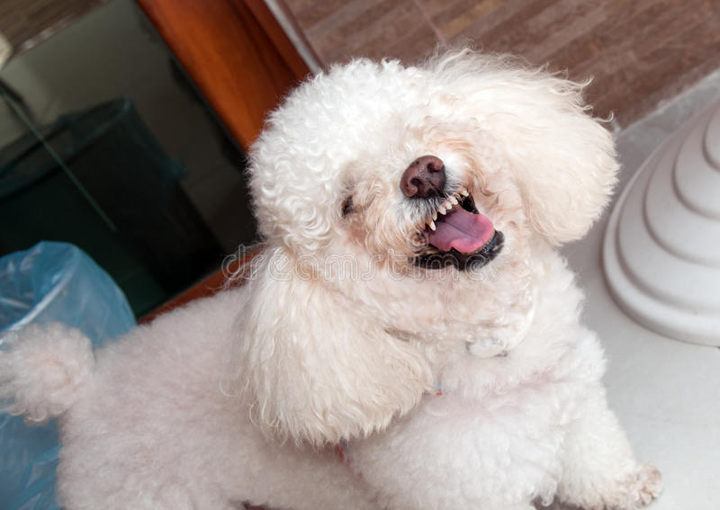 Angry Dog Growling. Angry poodle growling and showing teeth stock images