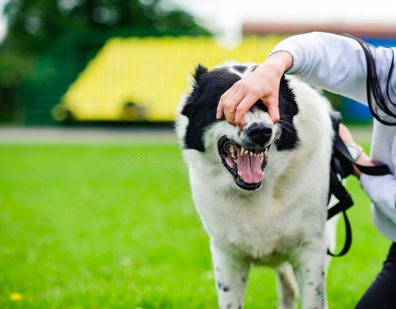 Angry dog with bared teeth. Aggression, aggressive, anger, animal, attack, bark, barking, canine, danger, enraged, fang, fear, fight, forceful, frighten, fur stock photos