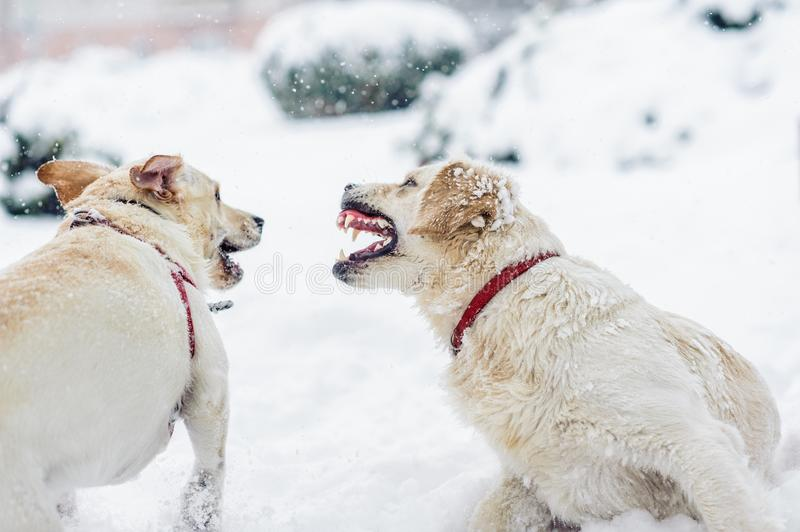 Angry dog with bared teeth stock image
