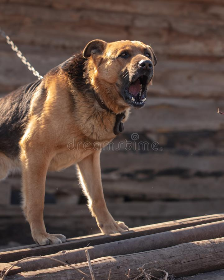 An angry dog barks near the house royalty free stock photo