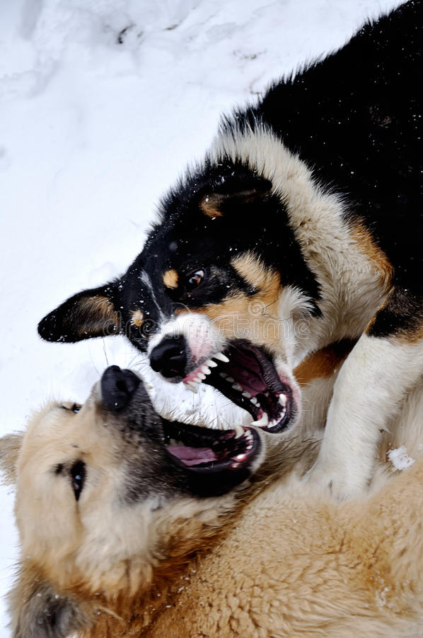 Angry dogs with bared teeth royalty free stock images