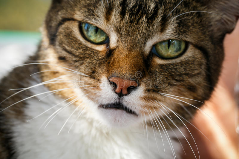 Angry domestic cat looks up. Angry domestic grey cat close up royalty free stock image