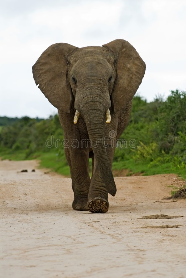 Download Angry Elephant stock photo. Image of persecuted, addo - 4848412