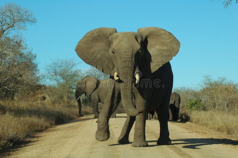 Download Angry Elephant stock photo. Image of protective, tusks - 650300