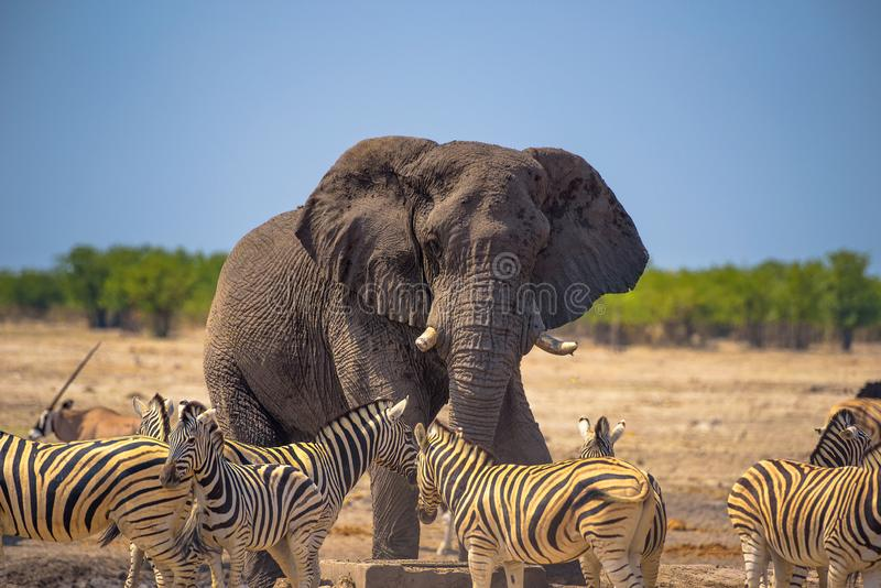 Angry elephant surrounded by zebras in Etosha National Park, Namibia. Angry african elephant surrounded by zebras in Etosha National Park, Namibia royalty free stock images