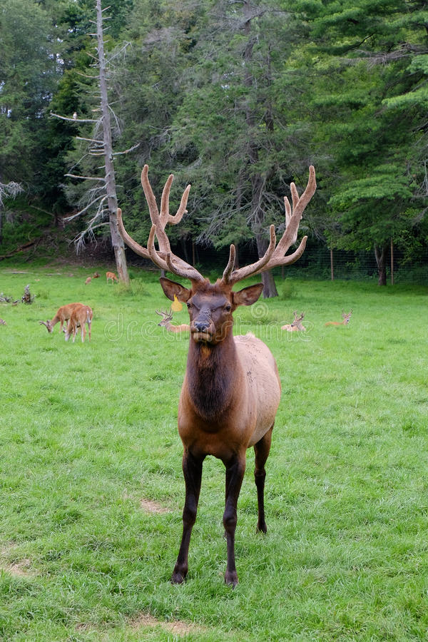 The Angry Elk stock image