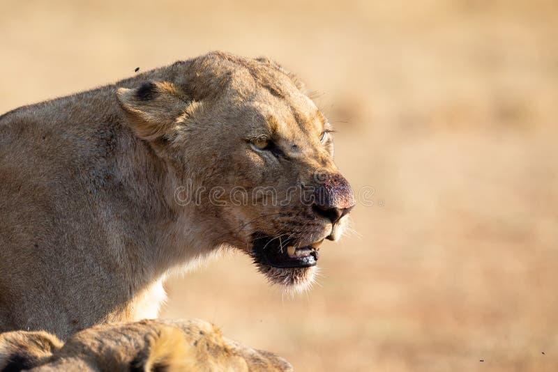 Angry en hongerige leeuwen voeden zich op het karkas van de dode rhino royalty-vrije stock foto's