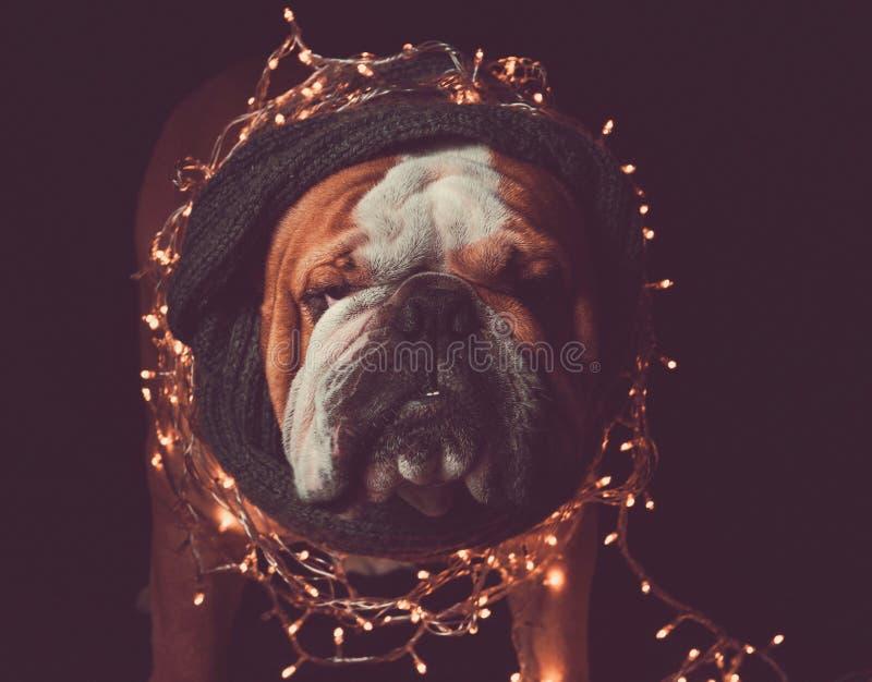 Angry English bulldog with Christmas lights. Low key techique stock images