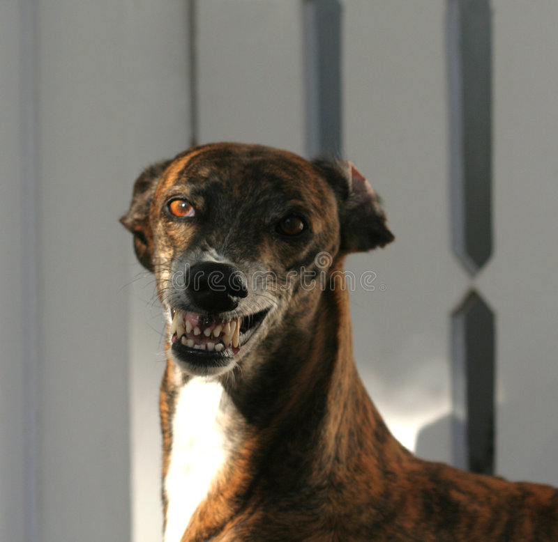 Angry face. Dog showing teeth royalty free stock image