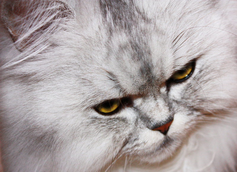 Angry fluffy cat royalty free stock photography