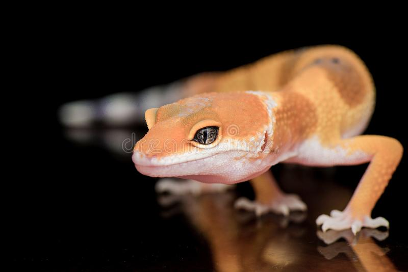 Angry Gecko Pose. Gecko, animal, indonesia, reptile, lizard, orange, pet, wil, wildlife, smile, face, eyes, nopeople, head, close, capture stock photos