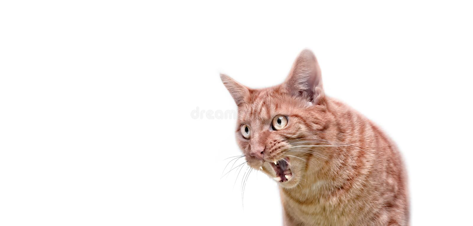 Angry ginger cat looking sideways and hissing with mouth open. stock images